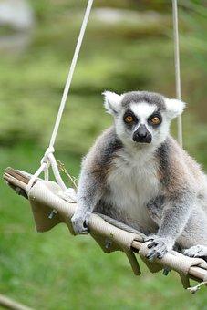 Maki, Lemur, Madagascar, Mammal, Monkey, Face, Eye