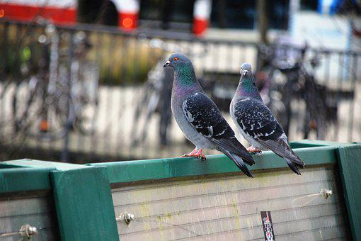 Pigeons, City, Birds, Wing, Feather, Grey, Animal World