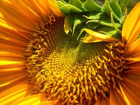 Sunflower, Sunflowers, Plant, Summer, Yellow, Flower
