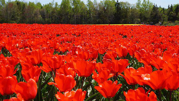 Tulip, Flowers, Red, Garden, Colorful, Flowering, Plant