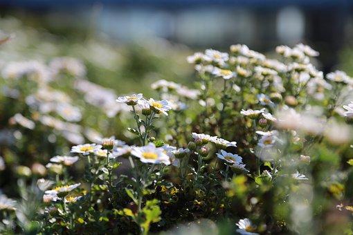 Chrysanthemum, Gujeolcho, Wildflower, Flowers, Nature
