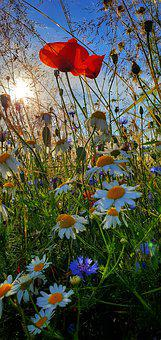 Holidays, Summer, Meadow, Flowers