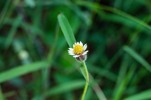Leucanthemum Vulgare, Flower, Flowers, Nature, Leaves