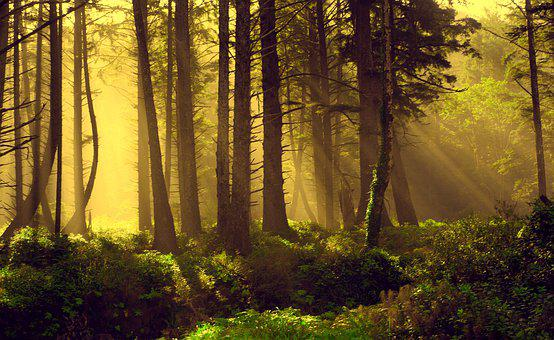 Forest, Rays, God Rays, Nature, Landscape, Light, Trees