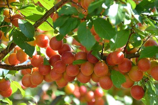 Fruit, Plum, Crawl-plum, Damson, Prunellen, Brunellen