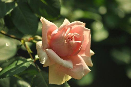 Rose, Pink, Gentle, Flower, Sunny, Petals, Love, Garden