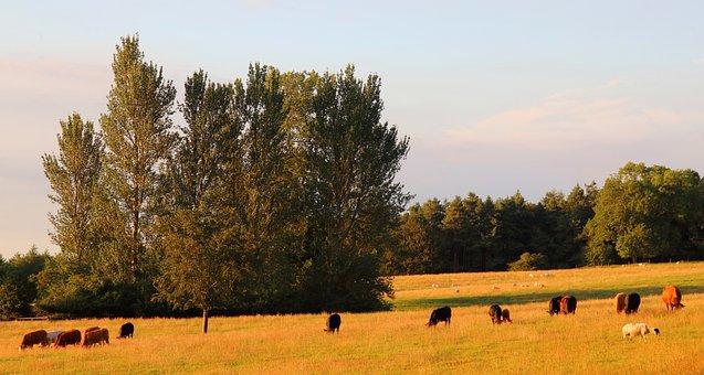 Pasture, Meadow, Cows, Grass, Landscape, Agriculture