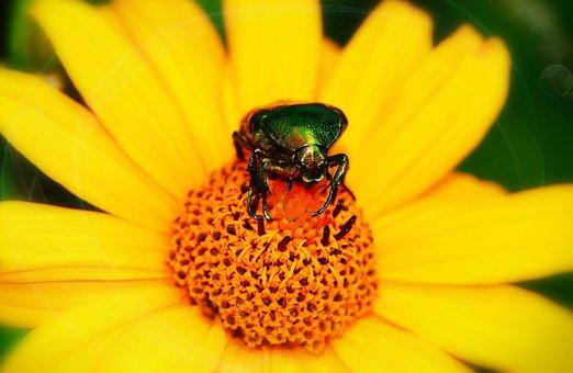 Kruszczyca Złotawka, The Beetle, Insect, Flower, Posts