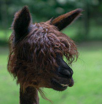 Alpaca, Wool, Animal, Mammal, Livestock, Peru, Head