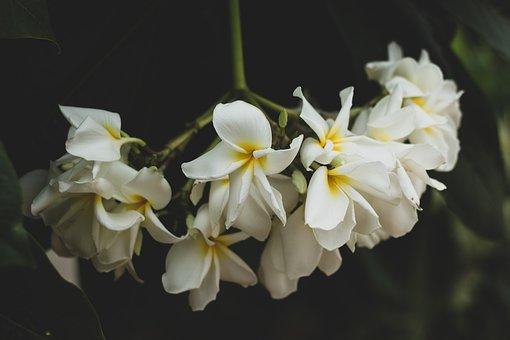 Plumeria, Flower, Flowers, Nature, Leaves, Summer