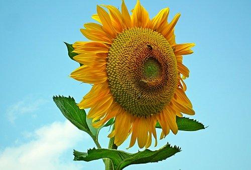 Sunflower, Flower, Summer, Nature, Sunny, The Petals