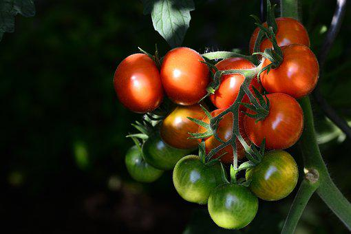 Tomatoes, Ripe, Garden, Fresh, Nutrition, Tasty