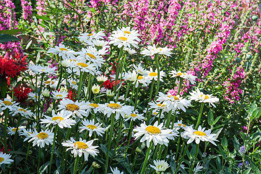 Daisies, Flowers, Perennials, Garden, Summer, Bloom