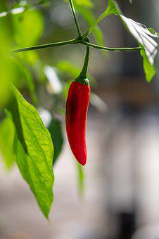 Red, Chilli, Pepper, Plant, Spices, Spicy, Ingredient
