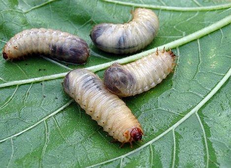 White Grubs, Larvae, Beetle Larvae, Aphid, Rose Beetle
