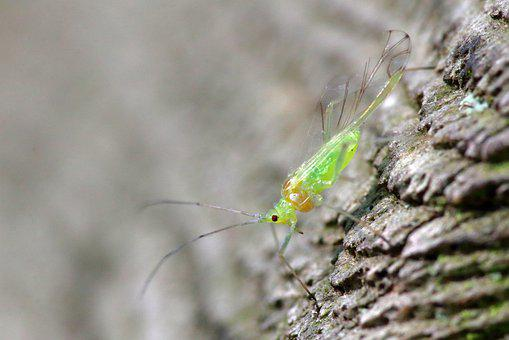 Greenfly, Aphid, Macro, Sap-sucking, Insect, Aphidoidea