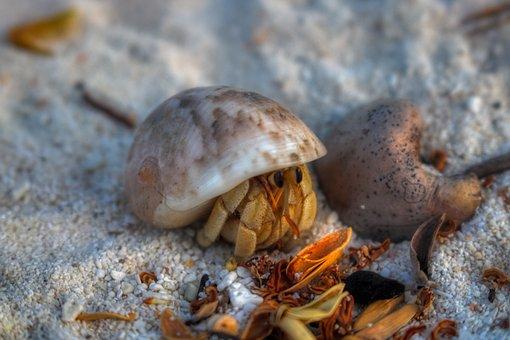 Hermit, Crab, White, Shell, Macro, Beach, Animal, Sand