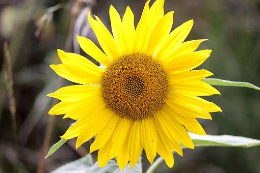 Sunflower, Blossom, Bloom, Yellow, Summer, Flower