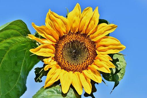 Sunflower, Flower, Blossom, Bloom, Yellow, Summer