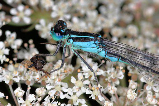 Damselfly, Blue, Insect, Nature, Bug, Animal, Summer