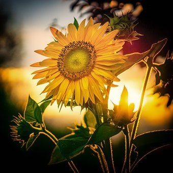 Sunflower, Flowers, Nature, Nature Lover, Summer, Bloom