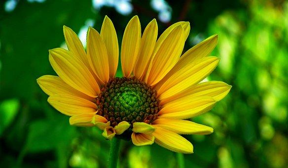 Sunflower, Flower, Summer, Yellow, Nature, Field