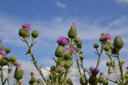 Thistles, Thistle Flower, Blossom, Bloom, Close Up