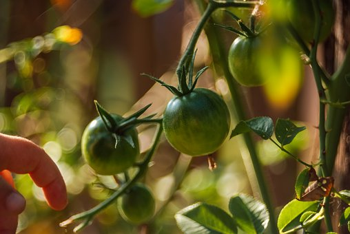 Tomatoes Green, Green Tomato, Unripe Tomato