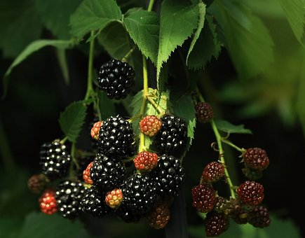 Blackberry, Black, Vitamins, Red, Sweet, Berry, Ripe