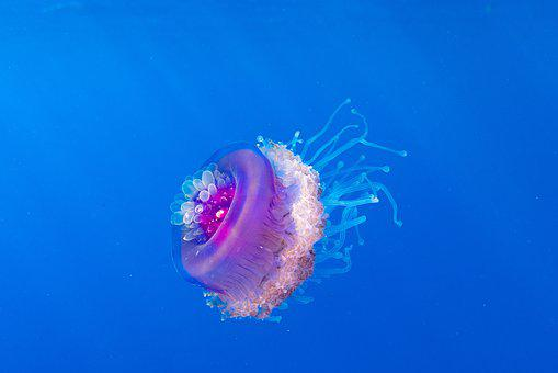 Wildlife, Jellyfish, Fish, Nature, Ocean, Beach, Sea