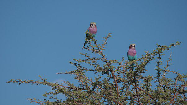 Forked Roller, Birds, Africa, Colorful, Botswana