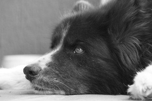 Dog, Pet, Karelian Bear Dog, Bear Dog, Black And White