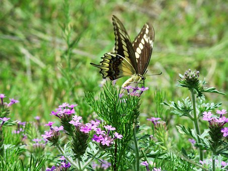Butterfly, Butterflies, Nature, Insects, Animals