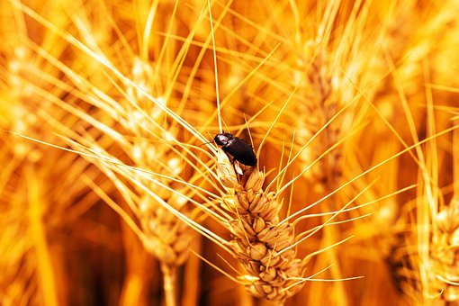 Beetle, Wheat, Cereals, Insect, Field, Agriculture