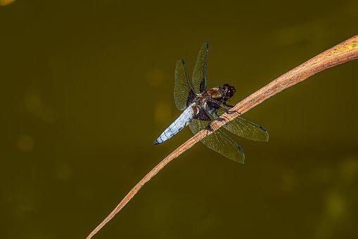 Black-tailed Skimmer, Orthetrum Cancellatum, Dragonfly