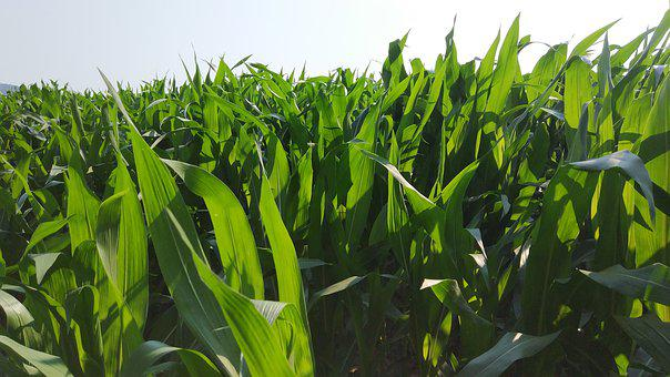 Egypt, Cornfield, Agriculture, Nature, Plant, Food
