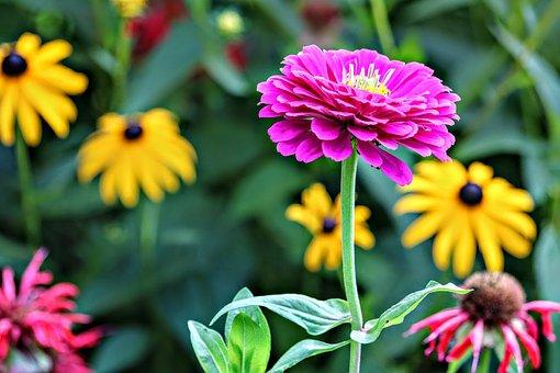 Zinnia, Flower, Summer, Garden, Nature, Bloom, Blooming