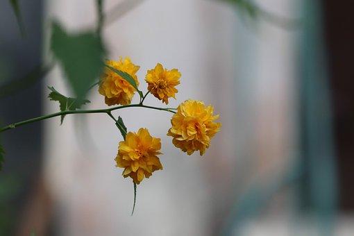 Chrysanthemum, Chrysanths, Flower, Yellow, Nature