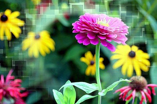 Effects, Zinnia, Black-eyed Susan, Flowers, Bloom