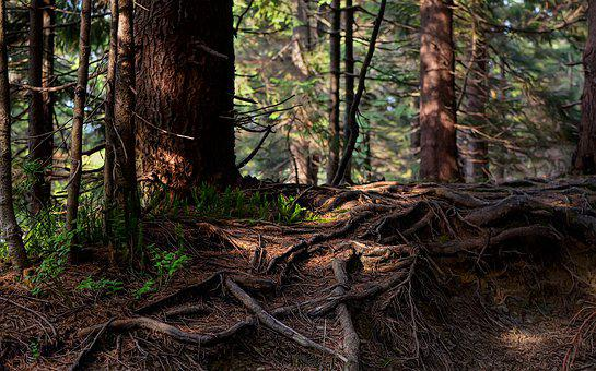 The Roots Of The, Forest, Nature, Tree, Root, The Bark