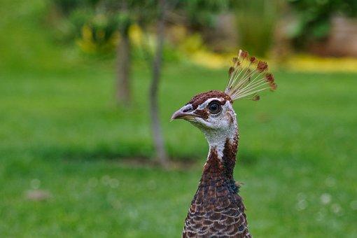 Peacock, Animal, Portrait, Garden, Green, Nature