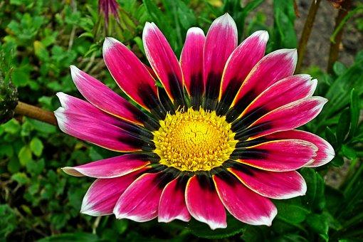 Gazania, Flower, Nature, Garden, Closeup, Summer