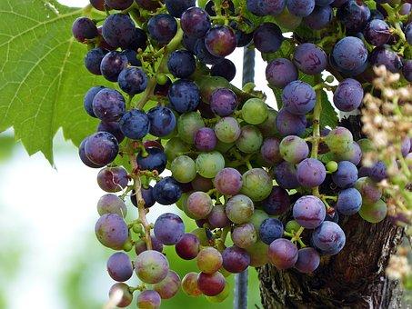 Wine, Grapes, Grapevine, Fruit, Vine, Winegrowing, Eat