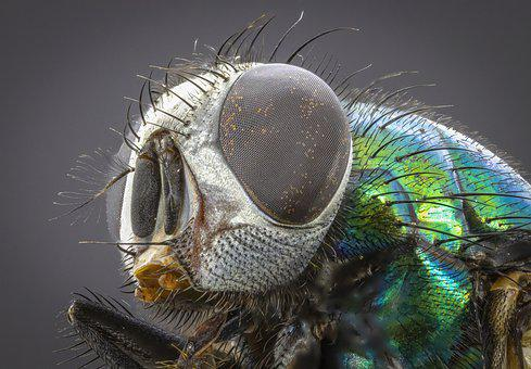 Green-bottle, Blowfly, Green, Eyes, Insect, Pest