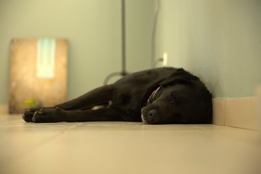 Dog, Labrador, Black Dog, Pet, Animal, Puppy, Portrait