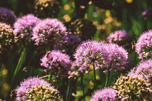 Ball Leek, Nature, Flower, Leek Flower, Leek, Blossom