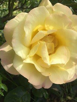 Rose, Nature, Garden, Bouquet, Bloom, Romantic, Roses