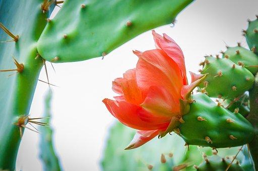 Cactus, Flower, Nature, Green, Garden, Desert, Juicy
