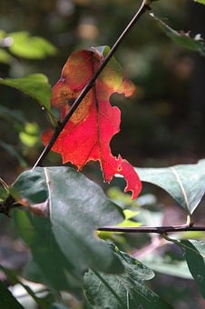 Leaf, Red, Autumn, Nature, Tree, Fall Foliage, Oak