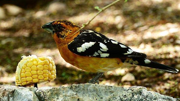 Birds, Plumage, Eat, Pen, Elegant, Colorful, Wing, Peck